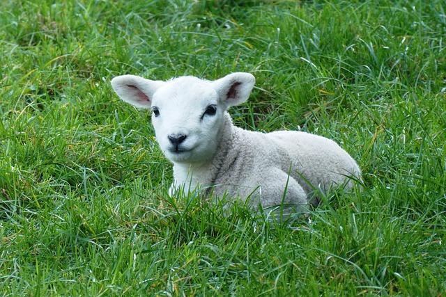 lamb-4280668_640