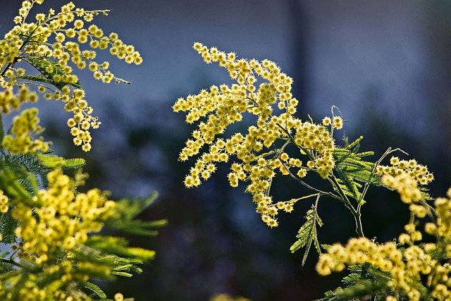 mimosa-5072678_640